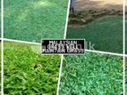 INTERLOCK LANDSCAPING GARDEN GRASS SUPPLYING