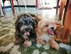 Shiatzu Puppies