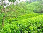 12 Acres Tea Land for Sale at Deniyaya Mathra