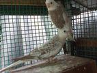 Cockatiel Birds