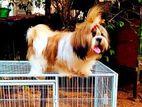 Shih Tzu Dog Stud Service