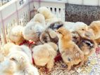 Rooster Chicks