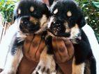 Siberian Husky Cross Rottweiler Puppy