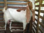 Jamunabari Goats