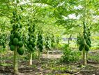 Papaya cultivation For Short term Income