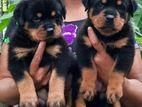 ROTTWEILER PUPPIES (IMPORTED BLOODLINE)