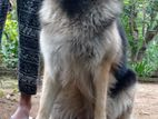 Long Coat German Shepherd male dog for crossing