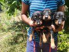 Doberman Male Puppies