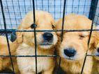 Goldan Retriever Puppies