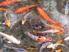 Carf Fish