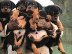 Rottweiler Puppies KASL Serbian micro chip