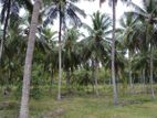 20 Acres Coconut Land for Sale in Hiripitiya, Kurunegala