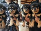 ROTTWEILER FEMALE PUPPIES (IMPORTED BLOODLINE)