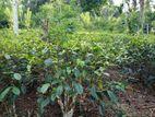 Tea Land for Sale in Balangoda
