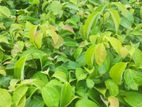 Cinnamon Plants/ Kurudu Pela