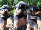 Rottweiler Imported Quality Puppies
