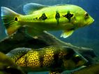 Peacock Bass Monster Fish