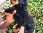 Rottweiler Puppy's
