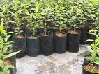 Agarwood Plants (අගාවුඩ්)
