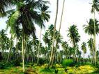Coconut Estate For Sale In Kuliyapitiya