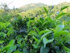 4.11 Acres Valuable Tea Land for Sale at Kadugannawa