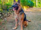German Shepherd Dog for Stud/Crossing