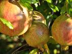 Organic Pomegranate Cultivation Projects