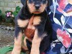 KASL Rottweiler Puppies
