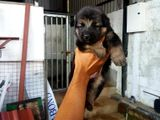 Lion Garman Shepherd Puppy