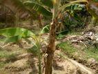 கப்பல் வாழைகன்றுகள் Banana Plants