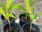 Golden Vichi Plants(ෆර්ම්ස් පැල )