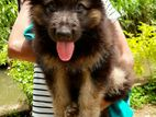 German Shepherd Long Coat Puppies