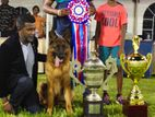 Imported champion ship germn sherperd dog avalible for crrosing