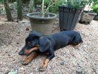 Dachshund Dog (Male)
