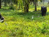 Buffaloes - Milking