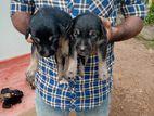 Doberman Lionshepard Mix Puppy