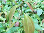 Cinnamon Plants/kurudu pala