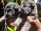 German Shepherd Puppys