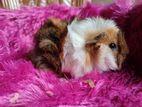 Guinea pigs ගිනි පිග්