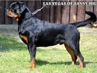 Imported Rottweiler For Crossing