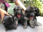 Lion German Shepherd Puppies