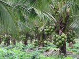 පොල් පැල - Coconut Plants