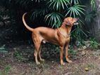 Rhodesian Ridgeback Male Dog for Crossing