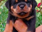 ROTTWEILER MALE PUPPIES💯🔥
