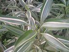 Sandriyana Mother Plants