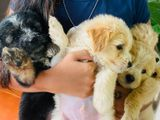 Tibetan Terrier Puppies